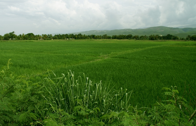 Fields of Rice (only in one area of the country from what it looked like)