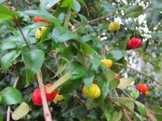 Cherries (Jamaican)