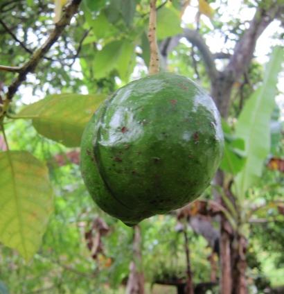 avocado pear jamaica