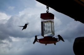 The humming birds of Bald Plate Inn